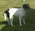 Danish-Swedish Farmdog black tricolor 2.jpg
