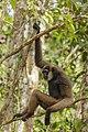 Dark-handed or Agile Gibbon (Hylobates agilis) Tanjung Puting National Park - Indonesia 1.jpg