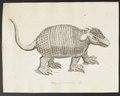 Dasypus unicinctus - 1700-1880 - Print - Iconographia Zoologica - Special Collections University of Amsterdam - UBA01 IZ21000091.tif