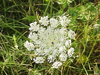 <i>Daucus</i> genus of plants