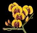 Daviesia divaricata - Flickr - Kevin Thiele.jpg