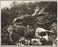 Dead horses on White Pass Trail, 1898 (MOHAI 7248).jpg