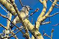 December Blue Jay (8272776611).jpg
