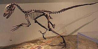 <i>Deinonychus</i> Dromaeosaurid theropod dinosaur genus from the early Cretaceous Period