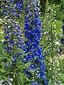 Delphinium elatum hybride 002.jpg