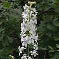 Delphinium leucophaeum.jpg