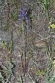 Delphinium nuttallianum 9613.JPG