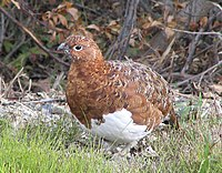 Denali National Park Ptarmigan.jpg