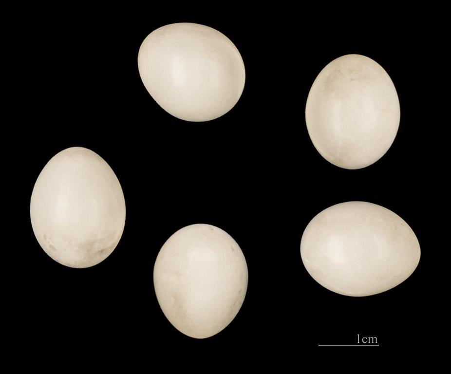 Ďateľ malý - vajíčka