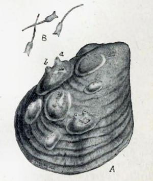 Stolidobranchia - Dendrodoa grossularia (Van Beneden, 1846) A ) on a shell; B) tadpoles (magnified x 9); a) branchial orifice b) atrial orifice