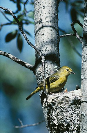 American yellow warbler - Female yellow warbler attending nestlings, Yukon Flats National Wildlife Refuge, Alaska (USA)