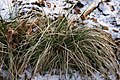 Deschampsia-caespitosa-winter.jpg