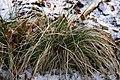 Deschampsia-caespitosa-winter.jpg