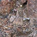 Desert Rosemallow - Flickr - treegrow (2).jpg