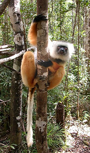Diademed sifaka - The diademed sifaka is a vertical clinger and leaper, just like other sifakas.
