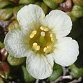 Diapensia lapponica (flower s9).jpg