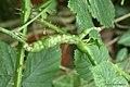 Diastrophus rubi on Bramble Rubus fruticosus (25839077398).jpg