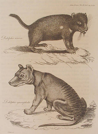 Tasmanian devil and thylacine, both labelled as members of Didelphis, from Harris' 1808 description. This is the earliest known non-indigenous illustration of a thylacine. Didelphis cynocephala and Didelphis ursina, 1808.jpg