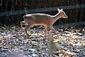 Dik-dik de Kirk (Zoo-Amiens).JPG