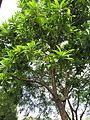 Dillenia indica (Elephant apple) tree in RDA, Bogra 01.jpg