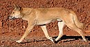 Dingo walking.jpg