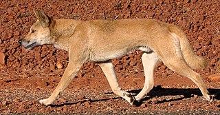 Dingo Canis lupus australian