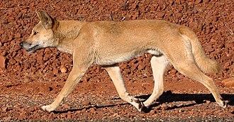 Dingo - A male dingo
