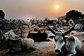 Dinka Catle, Wau, Sudan - panoramio.jpg