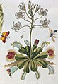 Dionaea muscipula detail, T. Green, The universal herbal. Wellcome L0025495 (cropped).jpg