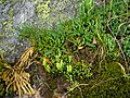 Diphasiastrum alpinum plant (10).jpg