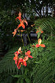 Disa uniflora and Dicksonia antarctica GotBot 2015.jpg