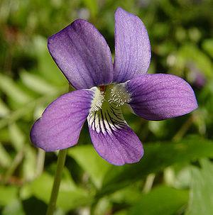 A sweet violet (viola odorata)