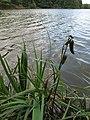 Dolejší Kařezský rybník, plody kosatce sibiřského.jpg