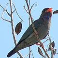 Dollarbird (Eurystomus orientalis) 02.jpg