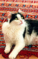 Domestic short hair tuxedo cat on red rug.jpg