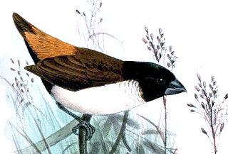 Hooded mannikin species of bird