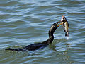 Double-crested Cormorant with Fish - Flickr - Andrea Westmoreland.jpg