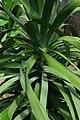 Dracaena draco, Conservatoire botanique national de Brest 03.jpg