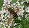 Drone-fly. Eristalis pertinax. Male - Flickr - gailhampshire.jpg