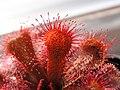 Drosera slackii Darwiniana.jpg