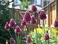 Drumstick Allium (3493478260).jpg