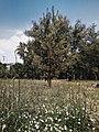 Drveće u parku Svetog Save u Nišu (1).jpg