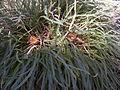 Dryandra nivea subsp nivea.JPG