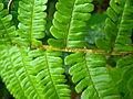 Dryopteris affinis detail2.jpg