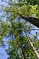 Dubechne Starovyzhivskyi Volynska-Modryna nature monument botanical-look up on the trees-1.jpg