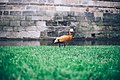 Duck on grass by stone wall (Unsplash).jpg