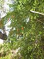 Duranta repens - Jardin d'Éden.JPG