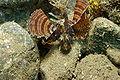 Dwarf Lionfish.JPG