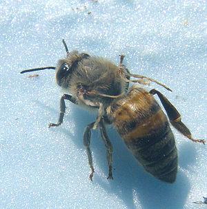 Deformed wing virus - Honey bee with deformed wings
