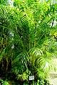 Dypsis lutescens (Chrysalidocarpus lutescens) - Gora Park - Hakone, Kanagawa, Japan - DSC08579.jpg